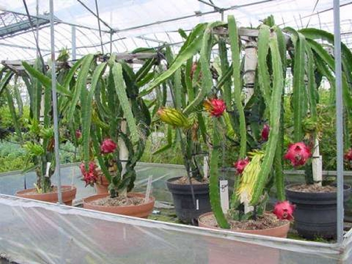 Greenhouse Dragon Fruit, cold protection Thanh Long, grow ...