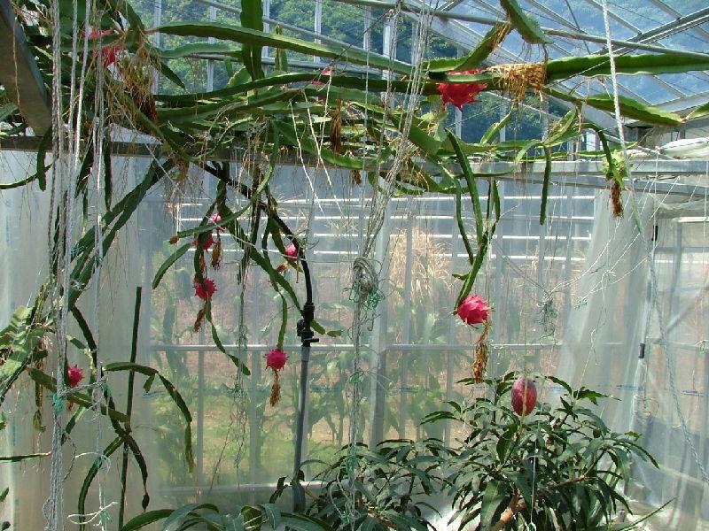 Dragon fruit cold protection thanh long grow dragon fruit usa