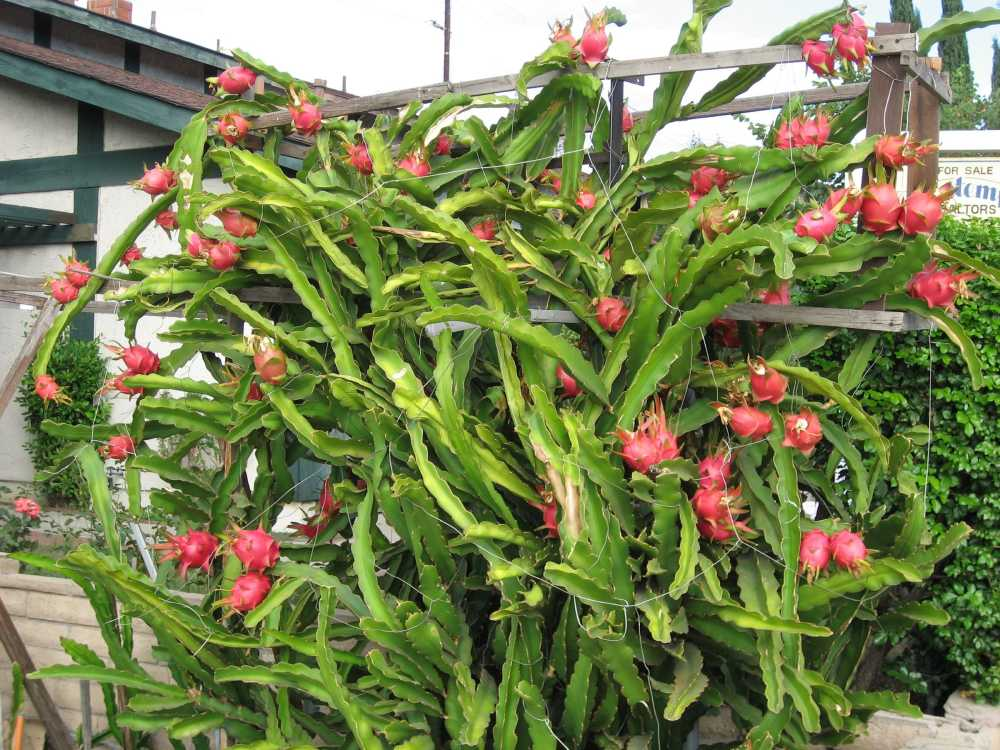 dragon fruit florida