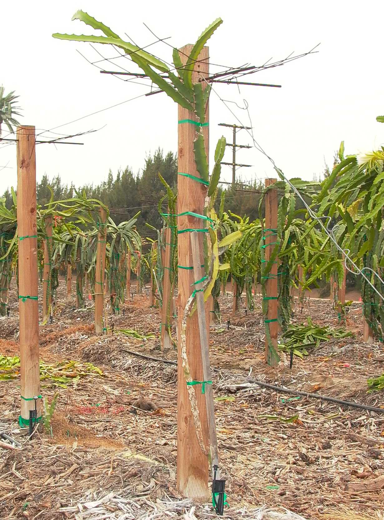 Pin Dragon Fruit Support Structure Arbor Trellis Pitahaya