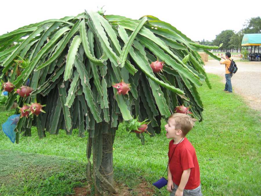 Pictures Of Dragon Fruit Tree